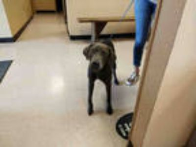 Adopt AMBER* a Brown/Chocolate Weimaraner / Mixed dog in Garland, TX (25462925)