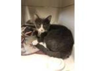 Adopt Lucellia a Gray or Blue Domestic Shorthair / Domestic Shorthair / Mixed