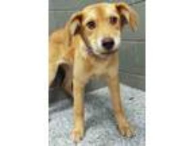 Adopt Natalie a Tan/Yellow/Fawn Beagle / Mixed dog in Hinsdale, IL (25639341)