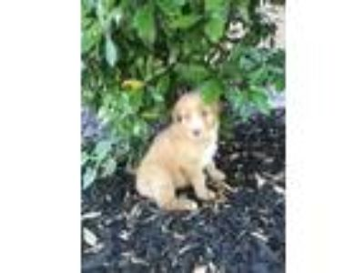Adopt Oscar a Golden Retriever, Australian Shepherd