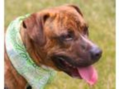 Adopt BEN a Pit Bull Terrier, Mixed Breed
