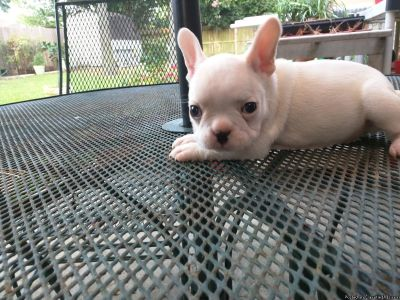 SMART AND SOCIABLE FRENCH BULL DOG AVAILABLE
