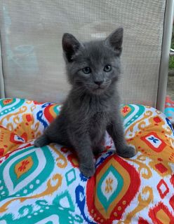 Russian blue mix kittens