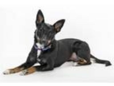 Adopt Willow a Australian Kelpie, Rat Terrier