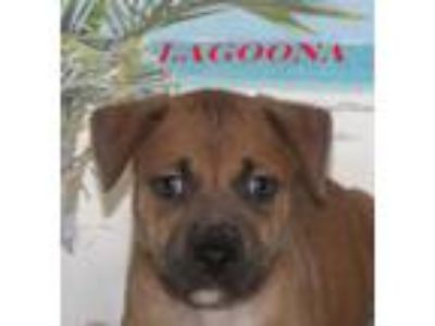 Adopt Lagoona a Brown/Chocolate American Pit Bull Terrier / Mixed dog in Morton