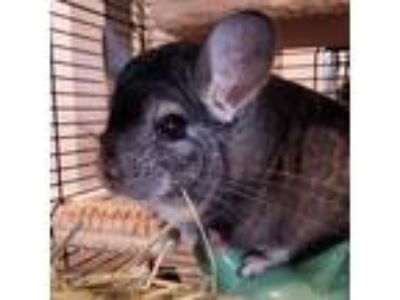 Adopt Rocky a Silver or Gray Chinchilla small animal in Lindenhurst