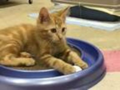 Adopt Reeses a Orange or Red Tabby Domestic Shorthair (short coat) cat in
