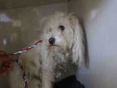 Adopt RUBY a White Poodle (Miniature) / Mixed dog in Redlands, CA (25483223)