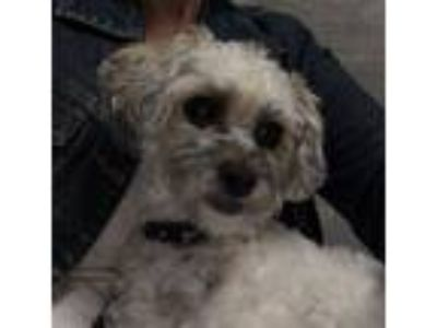 Adopt Frankie a Poodle, Terrier
