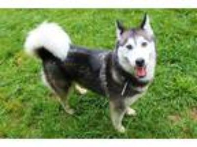 Adopt a Black - with White Husky / Mixed dog in Louisville, KY (25589565)