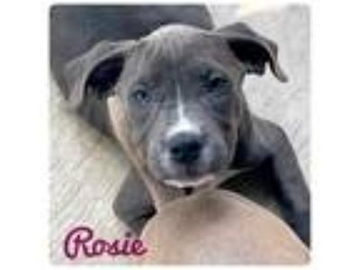 Adopt ROSIE a Pit Bull Terrier / Mixed dog in Ocala, FL (25328585)