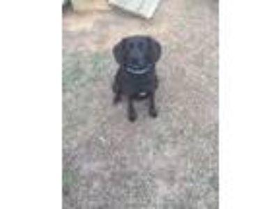 Adopt Abbie a Black Labrador Retriever / Dachshund / Mixed dog in Keota