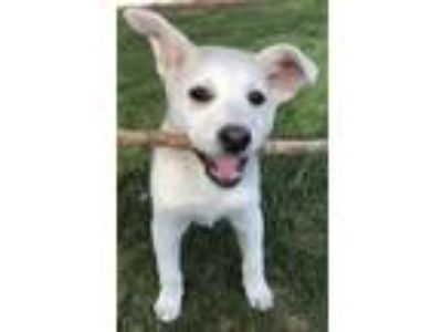 Adopt Eve a White - with Tan, Yellow or Fawn Australian Cattle Dog / Shepherd