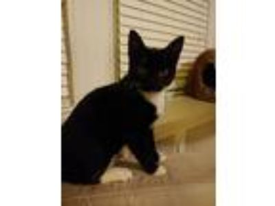 Adopt Sammie a Black & White or Tuxedo American Shorthair cat in Philadelphia
