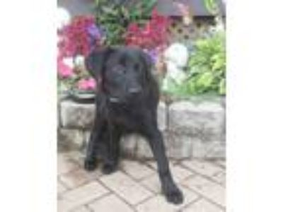 Adopt Dianca a Labrador Retriever, Golden Retriever