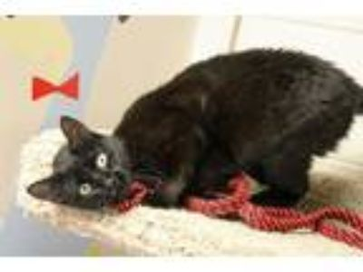 Adopt RAVEN a All Black Domestic Shorthair (short coat) cat in Euclid