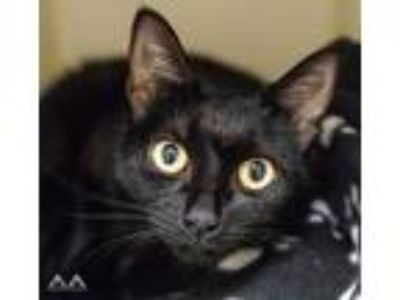 Adopt Ambrosia a All Black Domestic Shorthair / Domestic Shorthair / Mixed cat