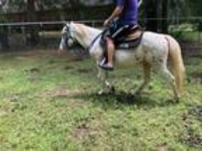 Adopt Olaf a Appy Appaloosa / Pony - of America horse in Baton Rouge