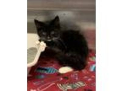Adopt Jeeves a Domestic Short Hair