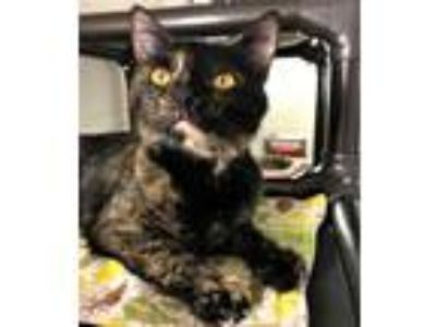 Adopt Shadow a Domestic Short Hair