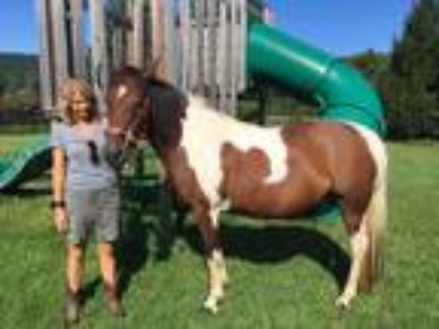 Little Texas Angel Gaited Spotted Saddle Mare