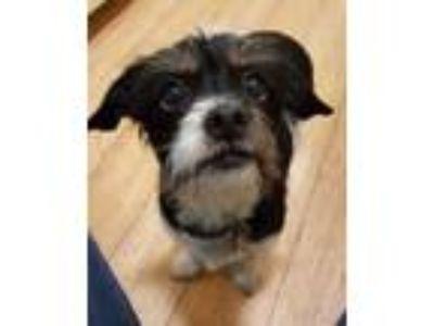 Adopt Molly a Terrier, Dachshund