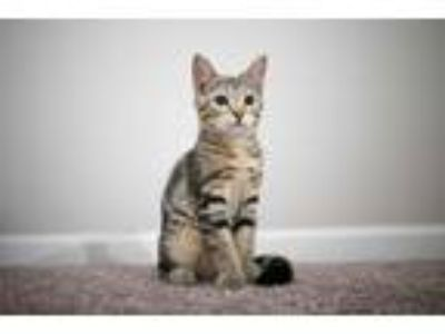 Adopt Chevelle a Tiger Striped Domestic Shorthair (short coat) cat in