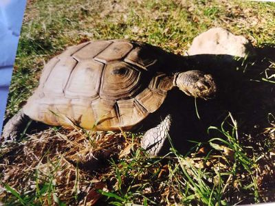 LOST TORTOISE! $500 REWARD!APPROXIMATELY 45 YEARS OLD, ...