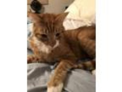 Adopt Jango a Domestic Short Hair