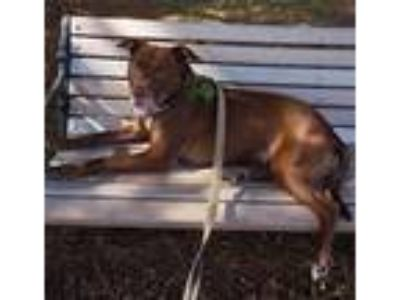 Adopt Chandler a American Staffordshire Terrier / Mixed dog in Raleigh