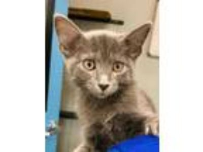 Adopt Jessie a Gray or Blue Domestic Shorthair / Domestic Shorthair / Mixed cat