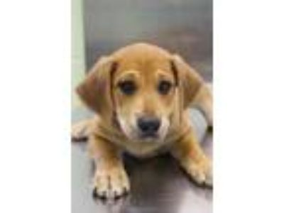 Adopt Squirrel a Tan/Yellow/Fawn Shepherd (Unknown Type) / Mixed dog in