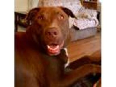 Adopt Riggs a Pit Bull Terrier, Mixed Breed