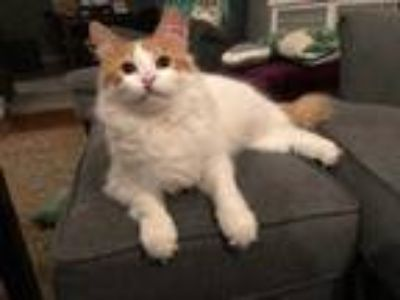 Adopt Elouise a Orange or Red Domestic Longhair / Domestic Shorthair / Mixed cat