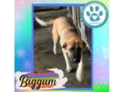 Adopt Bigger a Tan/Yellow/Fawn - with Black Shepherd (Unknown Type) / Mixed dog