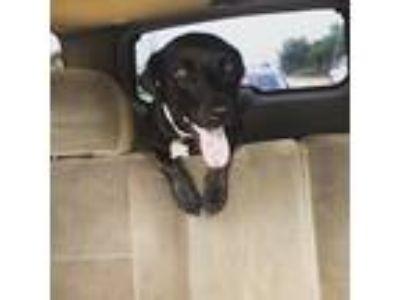 Adopt Tia Maria a Black Labrador Retriever / Mixed dog in Houston, TX (24564733)