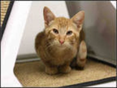 Adopt HUDSON a Orange or Red Tabby Domestic Shorthair / Mixed (short coat) cat