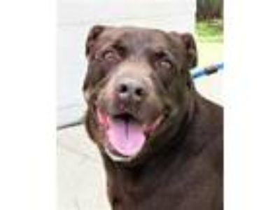 Adopt SUGAR a Labrador Retriever