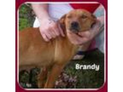Adopt BRANDY a Hound