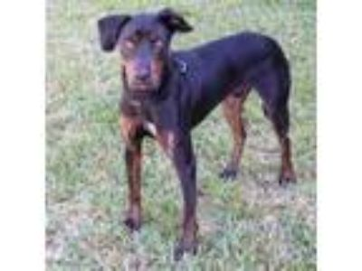 Adopt Dude a Doberman Pinscher, Mixed Breed