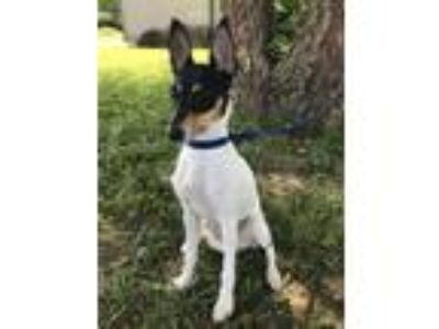 Adopt Eevee a Fox Terrier