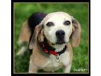 Adopt Scarlett a Black Beagle / Mixed dog in Sullivan, IN (25561164)