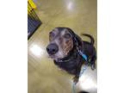 Adopt Bam Bam a Black - with Tan, Yellow or Fawn Plott Hound / Mixed dog in