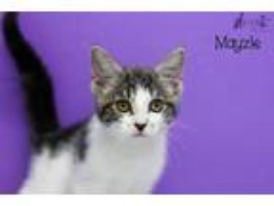 Adopt Mayzie a Domestic Short Hair