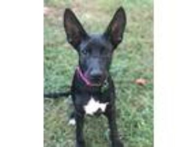 Adopt Maggie a Black - with White Dutch Shepherd / Labrador Retriever / Mixed