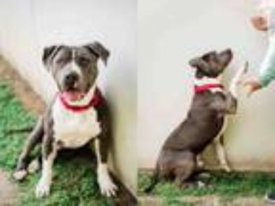 Adopt DUSTY a Mixed Breed, Pit Bull Terrier