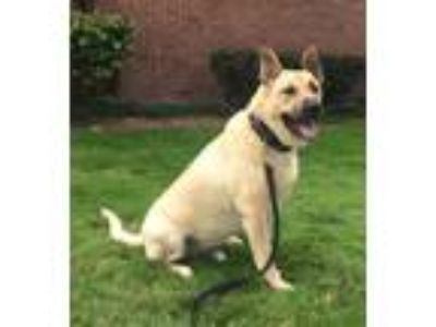 Adopt Ranger - Courtesy Post a Tan/Yellow/Fawn Labrador Retriever / Shepherd