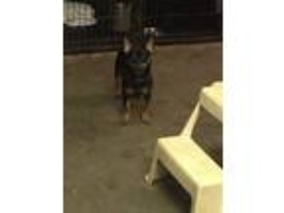 Adopt Spike a Black - with Tan, Yellow or Fawn Rat Terrier / Mixed dog in New