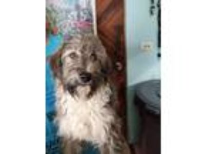 Adopt Dustin a Gray/Silver/Salt & Pepper - with White Cairn Terrier / Border