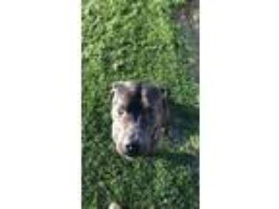 Adopt Tank and Mya a Black Presa Canario dog in Fort Wayne, IN (25882520)